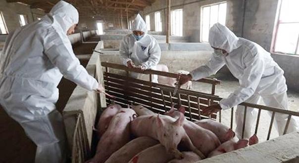 非洲猪瘟防控形势严峻